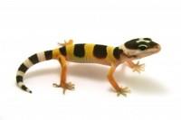 Gecko leopard : Comment aménager son terrarium ?
