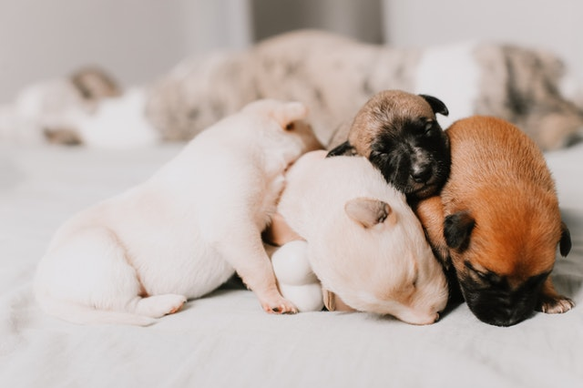 Gestation chez la chienne: comment préparer la naissance des chiots?