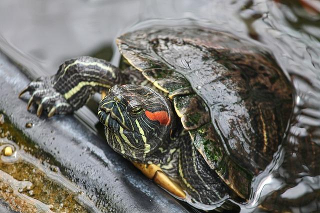Je veux une tortue d'eau !