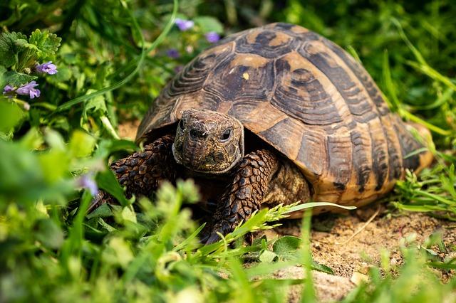 Comment préparer l'hibernation de ma tortue de terre ?