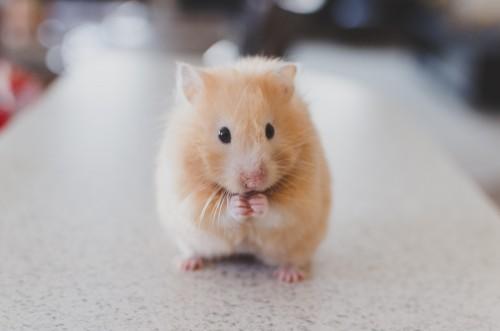 Hamster : tout savoir sur lui !