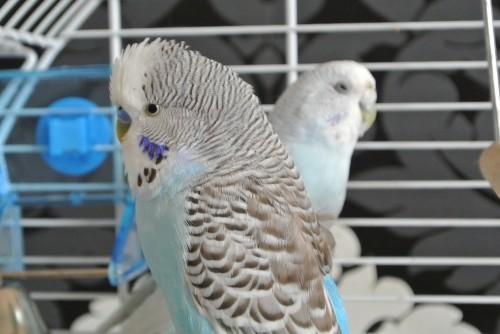 Comment protéger efficacement ses oiseaux des poux ?