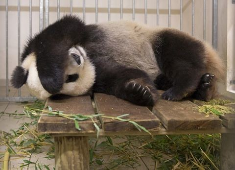 Grossesse du panda Huan Huan, une première en France