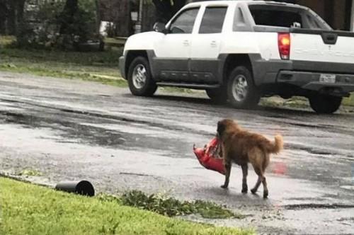 Un chien brave l'ouragan Harvey, son paquet de croquettes dans la gueule !