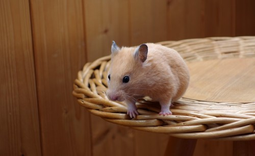 Quelle race de hamster choisir ?