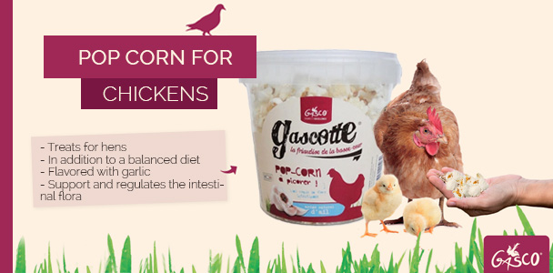 Pop Corn for Chickens