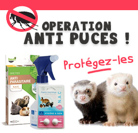 Opération anti-puces_furet