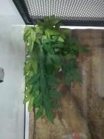 Plante-tissu-a-suspendre,-Abutilon_de_lea_2192305385a843121df6219.45771859