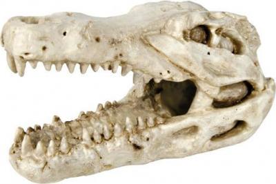Crâne de crocodile 14cm