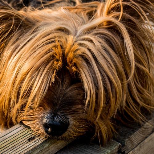 avis monique patée royal canin yorkshire