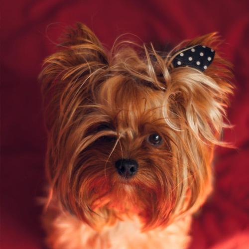 avis marie-laure patée royal canin yorkshire