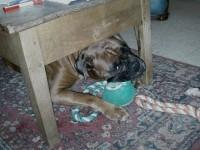 11471_Royal-Canin-Breed-Boxer-26-adult_de_adrienne_100676674550d7818ea9872.15394528