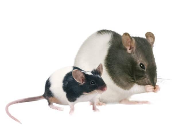 Granulado para ratas y ratones comida completa OPTIMA