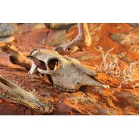 Décoration crâne Crocodile Exo-Terra