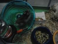 Disque-d'exercice-pour-hamster-et-souris_de_Camille_15463743845933e0a1715ea9.66830574