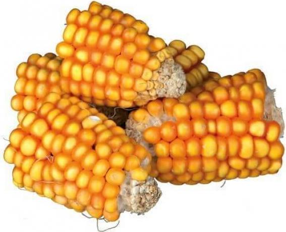 Friandise naturelle morceaux d'épis de maïs pour lapin