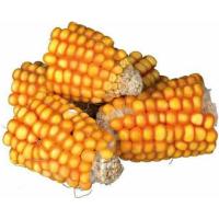Golosina natural trozos de mazorca de maíz para conejo