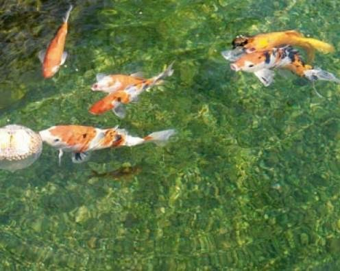 Balle de nourriture pour koi aliments poisson bassin for Nourriture pour carpe koi