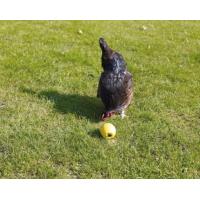 Chicken trough feeders