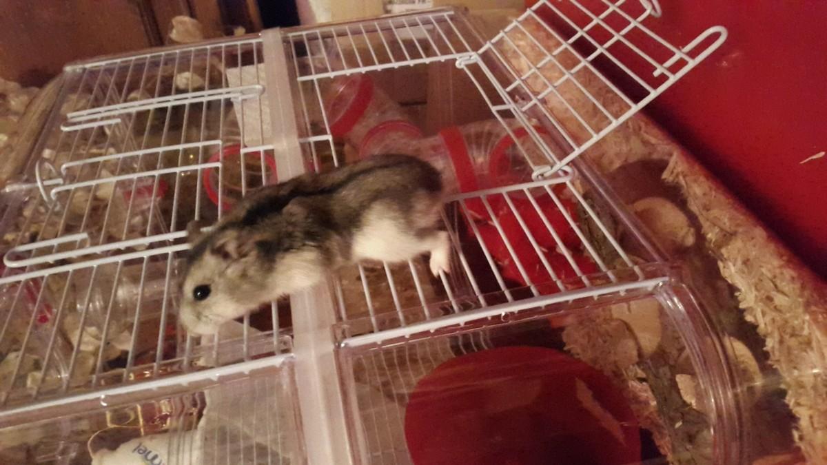 avis sur cage rodylounge duo couleur cerise pour hamster. Black Bedroom Furniture Sets. Home Design Ideas