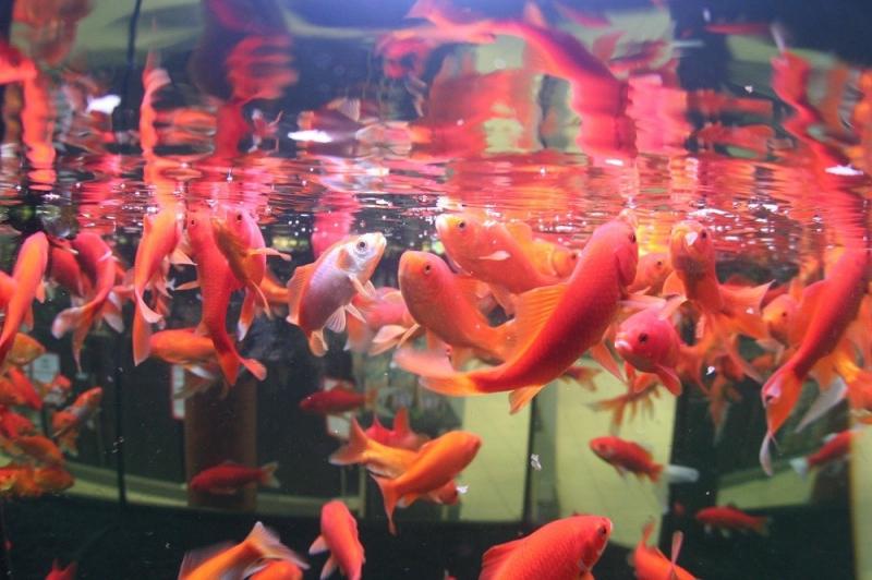 JBL Novo Red Flocons pour poissons rouges