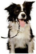 Licol pour chien HALTI noir rembourré