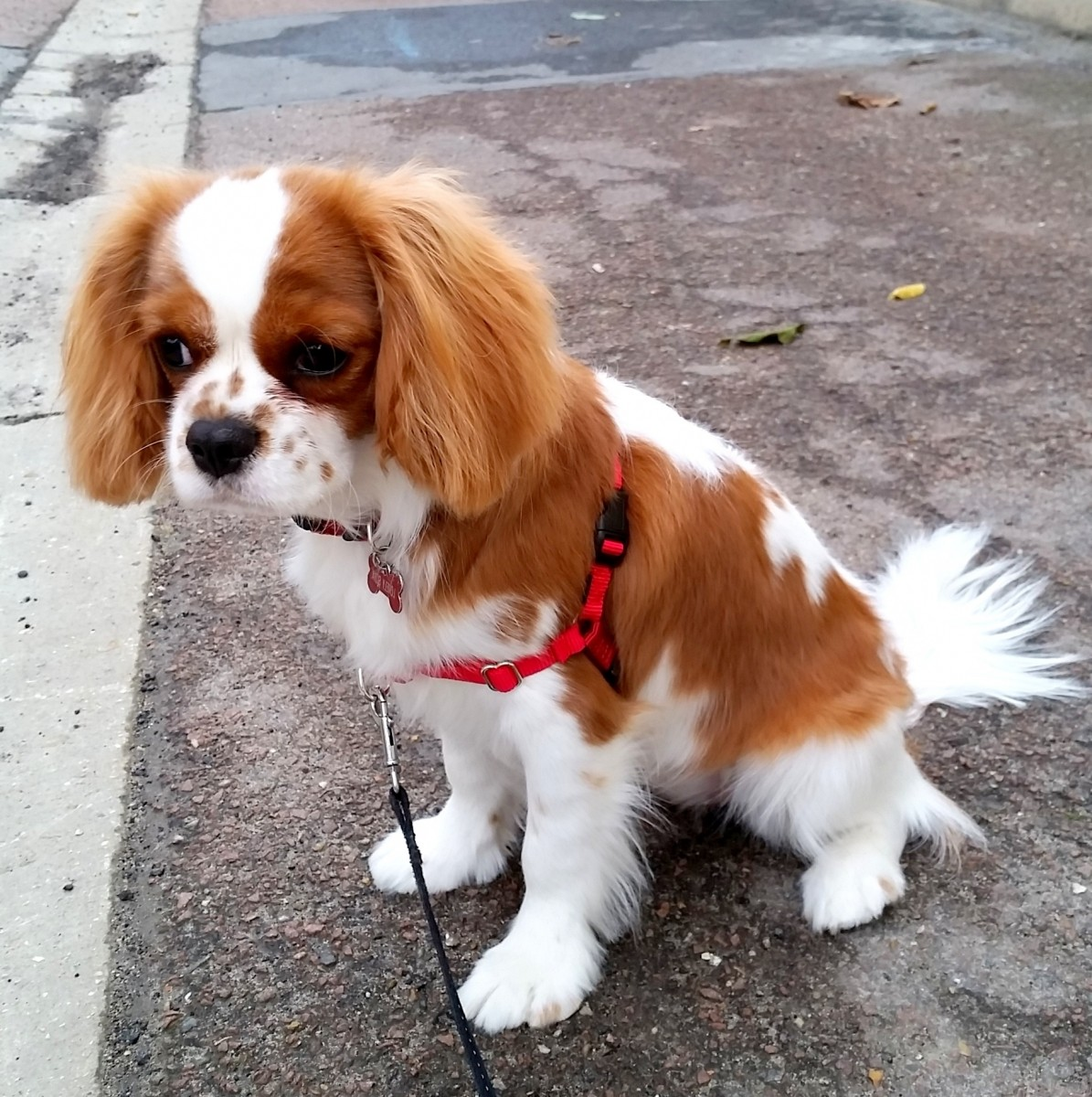 avis harnais ou collier pour chien