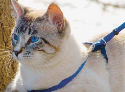 Geschirr und Leine EasyWalk für Katzen, in blau