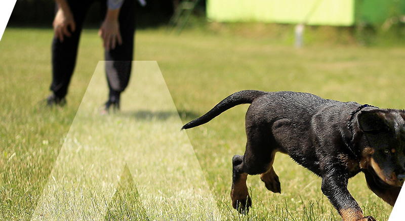 collier dog training zolia dressage facilité