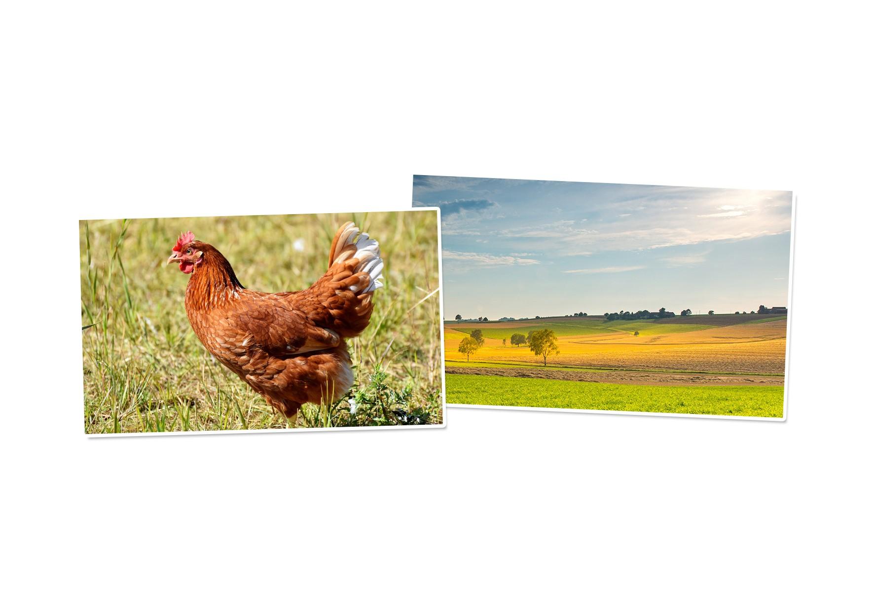 Le filet pour une clôture personnalisée pour vos poules
