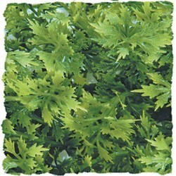 Plante australian 36cm_0