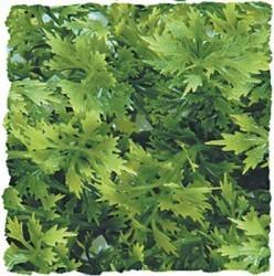 Plante australian 36cm