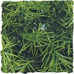 Plante cashuarina 46cm