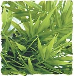 Planta de Madagascar 46 cm