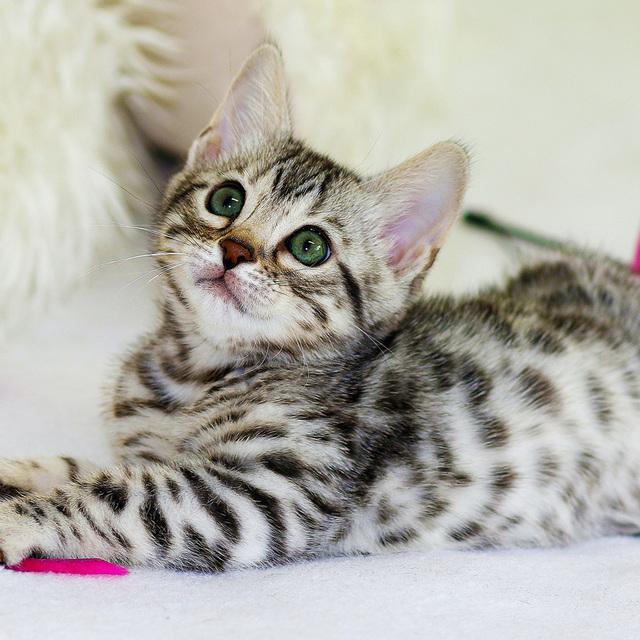 avis murielle croquettes quality sens kitten