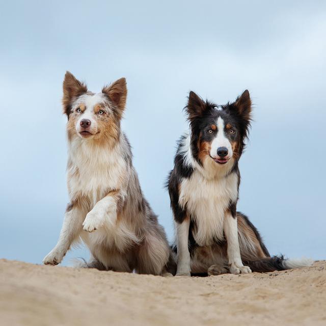 chiens cliente optimus