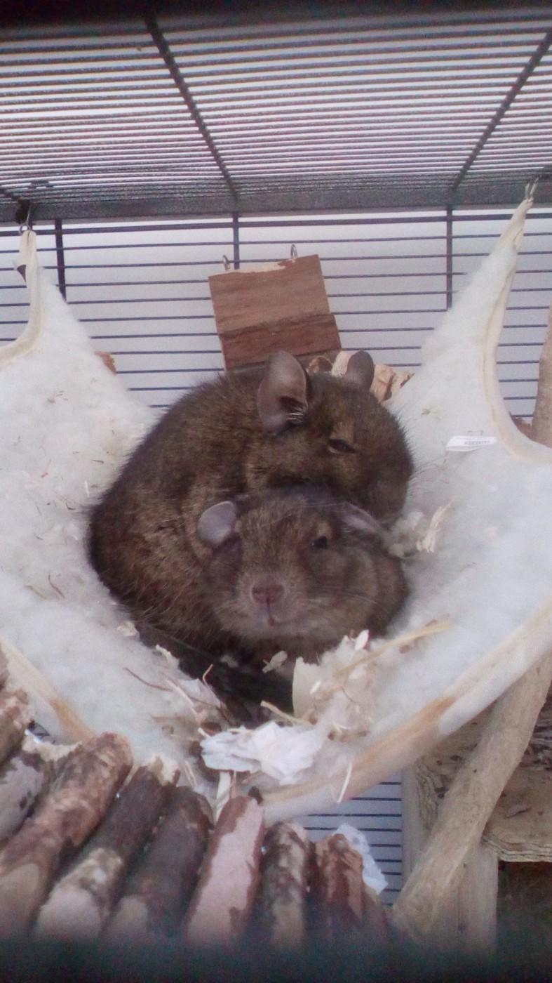 avis sur hamac pour hamsters souris rats et rongeurs. Black Bedroom Furniture Sets. Home Design Ideas