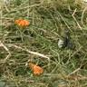 Foin de montagne aux fleurs de pissenlit - 500g